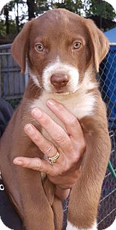 Australian Shepherd Mix Puppy for adoption in Hagerstown, Maryland - Kwin