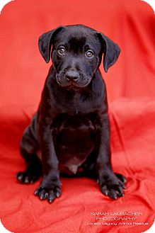 Labrador Retriever/Australian Shepherd Mix Puppy for adoption in Cincinnati, Ohio - Cadbury