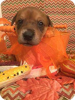 Border Collie Mix Puppy for adoption in Garden City, Michigan - Beru