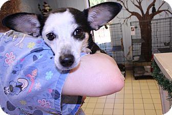 Chihuahua Mix Dog for adoption in Lumberton, North Carolina - Clarice