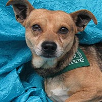 Jack Russell Terrier/German Shepherd Dog Mix Dog for adoption in Cuba, New York - Bingo Gonska