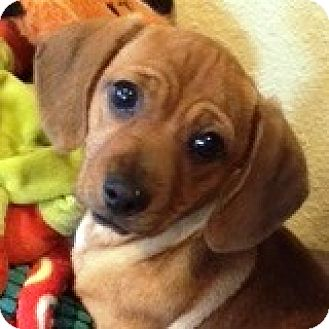 Dachshund Puppy for adoption in Houston, Texas - Finn