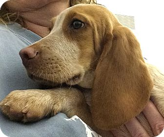 Beagle Puppy for adoption in Fairview Heights, Illinois - Gus