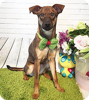 Labrador Retriever/Shepherd (Unknown Type) Mix Dog for adoption in Castro Valley, California - Elana