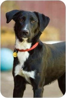 Labrador Retriever/Border Collie Mix Dog for adoption in Portland, Oregon - Jessie