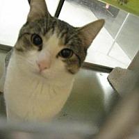 Domestic Shorthair Cat for adoption in Logan, Utah - Phillip