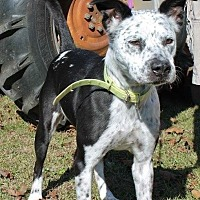 Dalmatian Mix Dog for adoption in Dawson, Georgia - Ellie