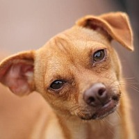 Whippet/Chihuahua Mix Dog for adoption in San Antonio, Texas - TIMMY