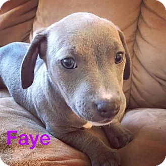 Dachshund/American Staffordshire Terrier Mix Puppy for adoption in Concord, California - Faye