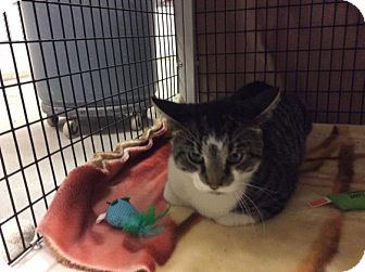 Domestic Shorthair Cat for adoption in Janesville, Wisconsin - Babbs