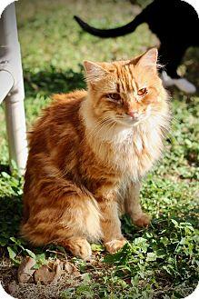 Domestic Longhair Cat for adoption in San Antonio, Texas - Pickles