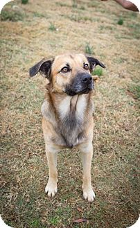 Shepherd (Unknown Type)/Shepherd (Unknown Type) Mix Dog for adoption in Boonsboro, Maryland - Bandit