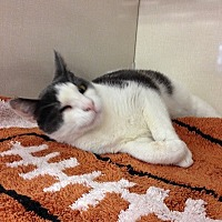 Domestic Shorthair Cat for adoption in Burbank, California - Winky