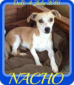 Rat Terrier/Chihuahua Mix Dog for adoption in Jersey City, New Jersey - NACHO
