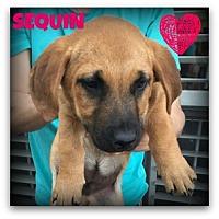 Adopt A Pet :: Sequin - West Hartford, CT