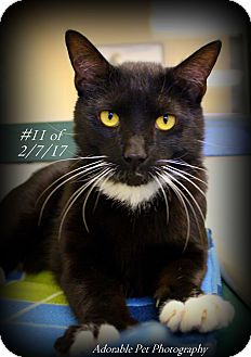 Domestic Shorthair Cat for adoption in Gaylord, Michigan - Tucker