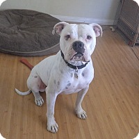 American Bulldog Dog for adoption in Quail Valley, California - Tyson