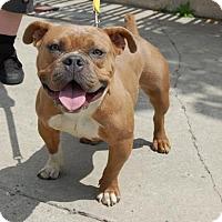 Adopt A Pet :: Daffodil - Brooklyn, NY