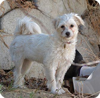 Maltese Mix Puppy for adoption in Simi Valley, California - Bubbles