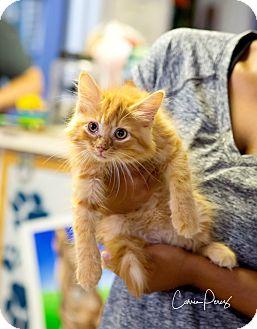 Domestic Mediumhair Kitten for adoption in Cape Girardeau, Missouri - Hudson