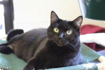 Domestic Shorthair/Domestic Shorthair Mix Cat for adoption in Brunswick, Georgia - Latte