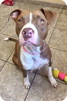 Pit Bull Terrier Mix Dog for adoption in Joplin, Missouri - Maggie 7454