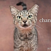 Adopt A Pet :: Chanel - Orlando, FL