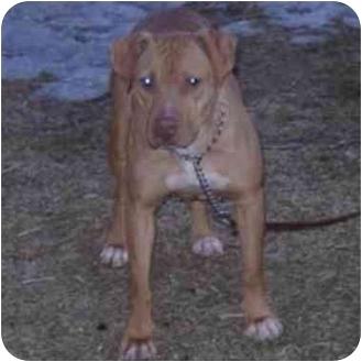 American Pit Bull Terrier Mix Dog for adoption in chicago, Illinois - Tasha