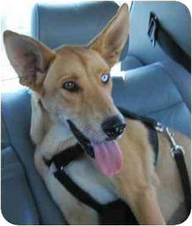Ibizan Hound Mix Dog for adoption in Marina del Rey, California - Farrah