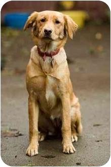 Golden Retriever Mix Puppy for adoption in Portland, Oregon - Debbie