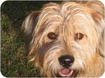 Wheaten Terrier/Norfolk Terrier Mix Dog for adoption in Burbank, California - ANGEL