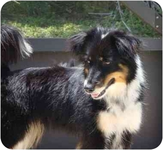 Australian Shepherd Mix Dog for adoption in Orlando, Florida - Trina