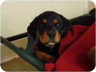 Rottweiler Mix Puppy for adoption in Vandalia, Illinois - Jada