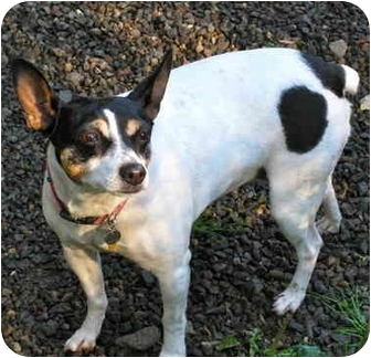 Rat Terrier Dog for adoption in Portland, Oregon - Lizzie
