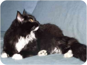 Domestic Mediumhair Cat for adoption in Coppell, Texas - Carrie Ann