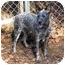 Photo 1 - Australian Cattle Dog Dog for adoption in Siler City, North Carolina - Bliss