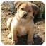 Photo 1 - Rottweiler/Labrador Retriever Mix Puppy for adoption in Marion, North Carolina - ROBBER