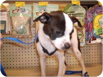Chihuahua/Boston Terrier Mix Puppy for adoption in Umatilla, Florida - Trevor