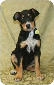 Rottweiler/Doberman Pinscher Mix Puppy for adoption in Westminster, Colorado - POINSETTA