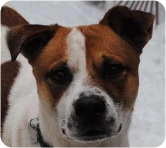Beagle/Australian Cattle Dog Mix Dog for adoption in Freeport, Maine - Hugo - in Maine