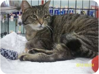Domestic Shorthair Cat for adoption in Riverside, Rhode Island - Maggie