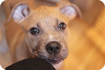 Boxer Mix Puppy for adoption in Reisterstown, Maryland - Basil