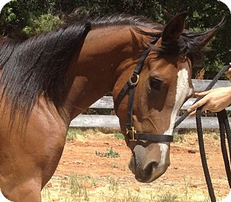 Paint/Pinto Mix for adoption in Sac, California - Cayenne Peper (Ky)