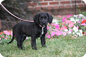 Cocker Spaniel Mix Puppy for adoption in West Milford, New Jersey - MARLEY