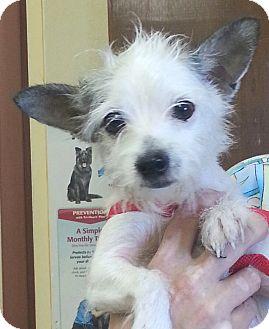Chihuahua/Affenpinscher Mix Dog for adoption in Orlando, Florida - Snookie