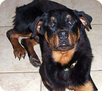 Rottweiler Mix Dog for adoption in Bowie, Maryland - Adopted! Lucky