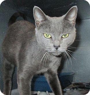 Russian Blue Cat for adoption in West Warwick, Rhode Island - Ella