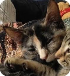 Domestic Shorthair Kitten for adoption in Gainesville, Florida - Kahleesi