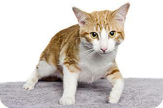 Domestic Shorthair Cat for adoption in Royal Oak, Michigan - MITCH