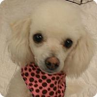 Adopt A Pet :: Lambchop - NON SHED! - Phoenix, AZ